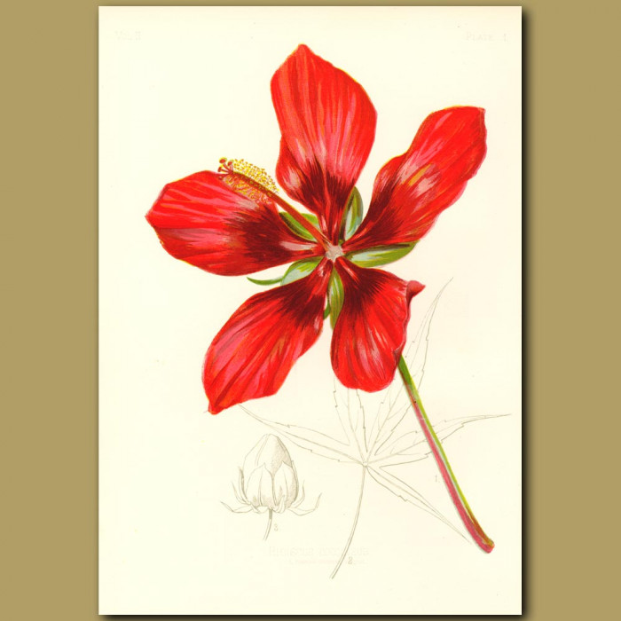 Antique print. American Scarlet Rose-Mallow