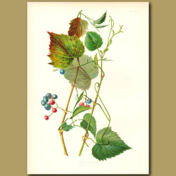 Entire-Leaved Ivy-Grape