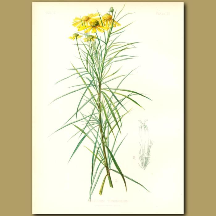 Antique print. Slender-leaved Sneezewort