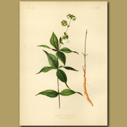 Starry Campion or Catchfly