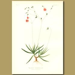 Terete talinum; Fame-Flower
