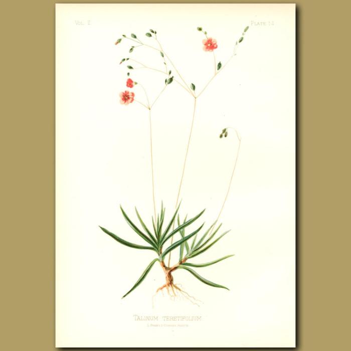 Antique print. Terete talinum; Fame-Flower