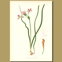 Large-Flowered California Hyacinth