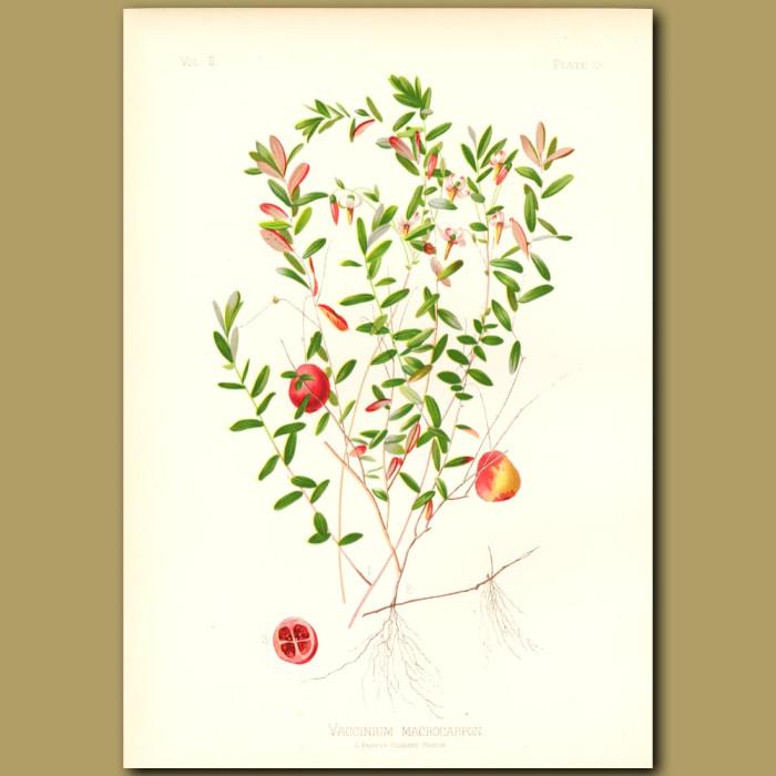 Antique print. American Cranberry