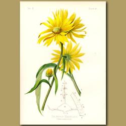 Maximillian's Sunflower