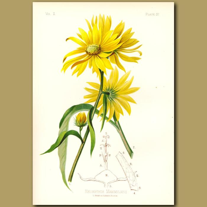 Antique print. Maximillian's Sunflower