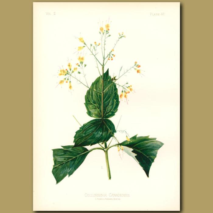 Antique print. Collinson's Flower