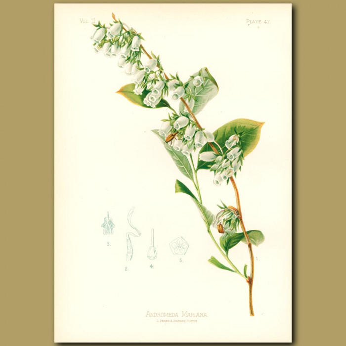 Antique print. Stagger-Bush