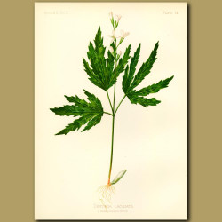 Cut-leaved Tooth-Wort
