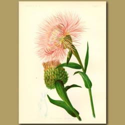 American Centaurea