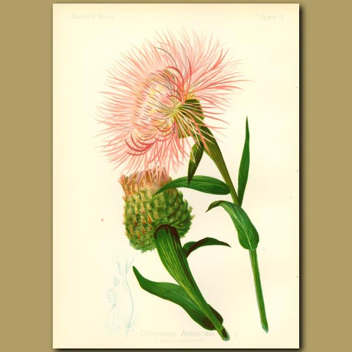 Antique print. American Centaurea