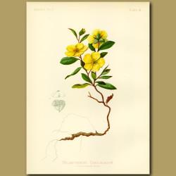 Carolina Sun Rock-Rose