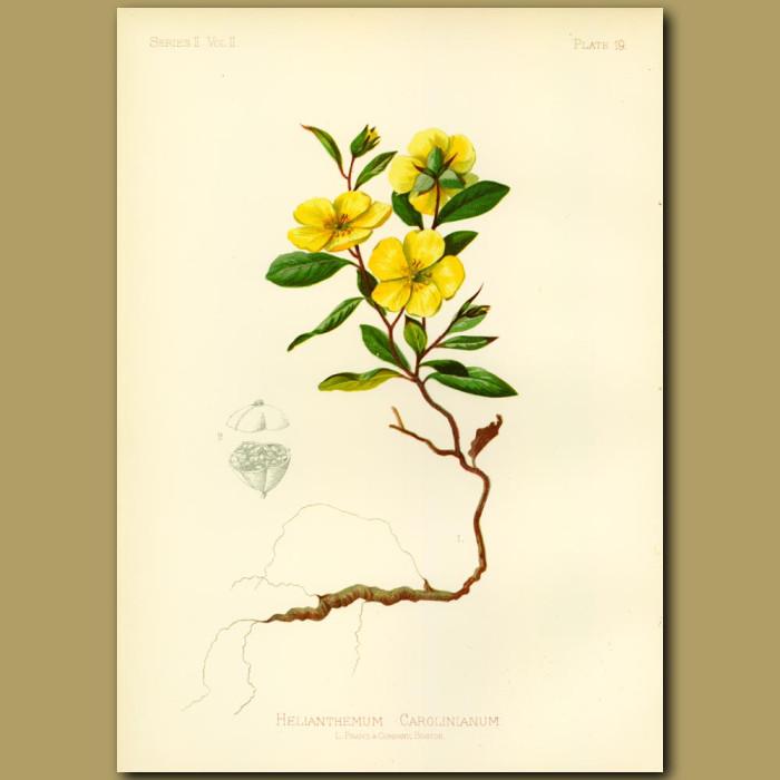Antique print. Carolina Sun Rock-Rose