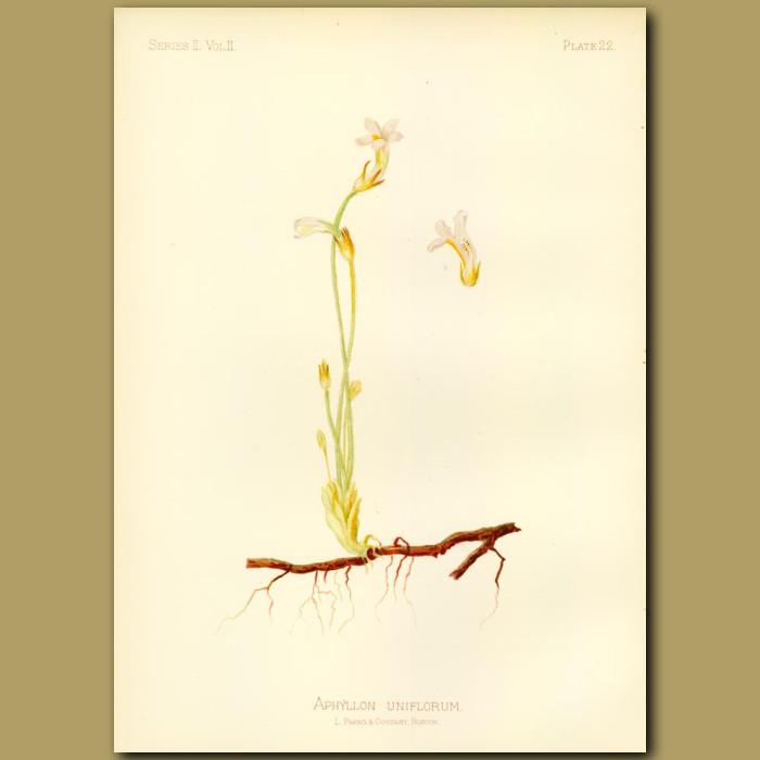 Antique print. One-flowered Broom Rape