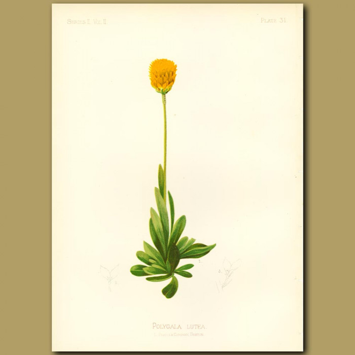 Antique print. Yellow Milk-Wort
