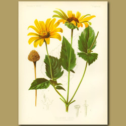 False-Sun-Flower