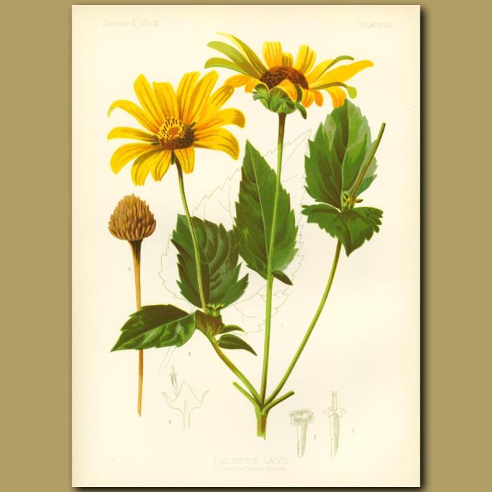 Antique print. False-Sun-Flower