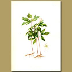 Wind flower or Wood Anemone