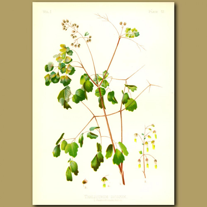 Antique print. Early Meadow Rue