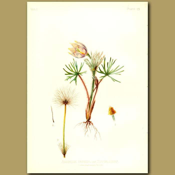 Antique print. Nuttall's Pasque Flower