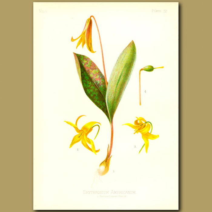 Antique print. Yellow Dog-tooth Violet