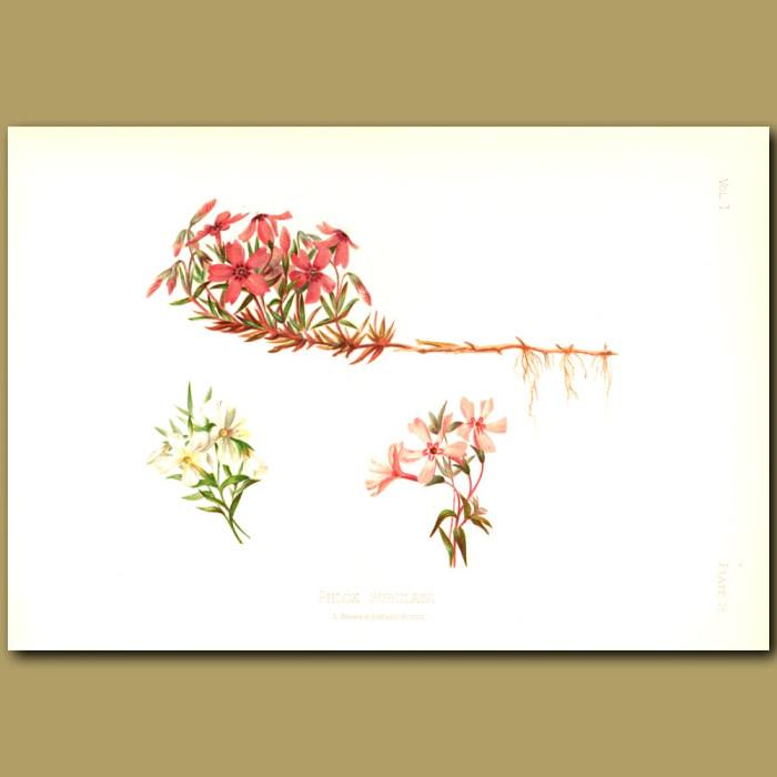 Antique print. Moss Pink