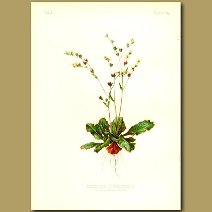 Antique print. Early White Saxifrage