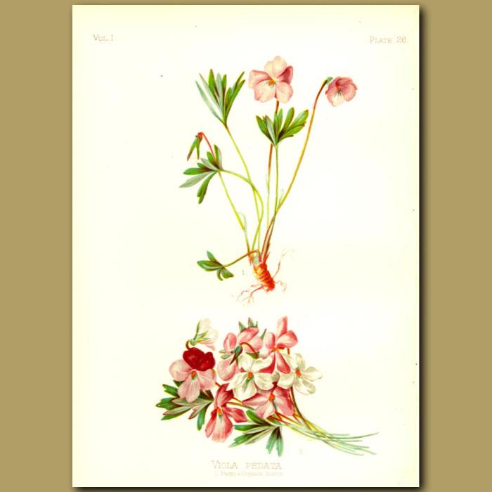 Antique print. Bird's-foot Violet
