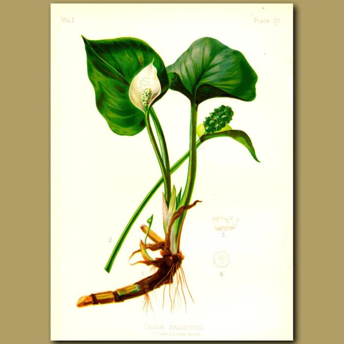 Antique print. Bog Arum Lily