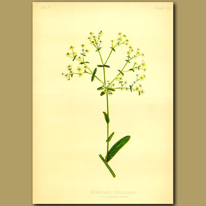Antique print. Flowering Spurge