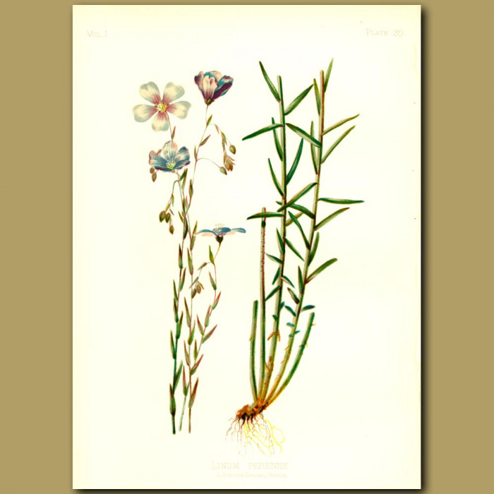 Antique print. Perennial Flax