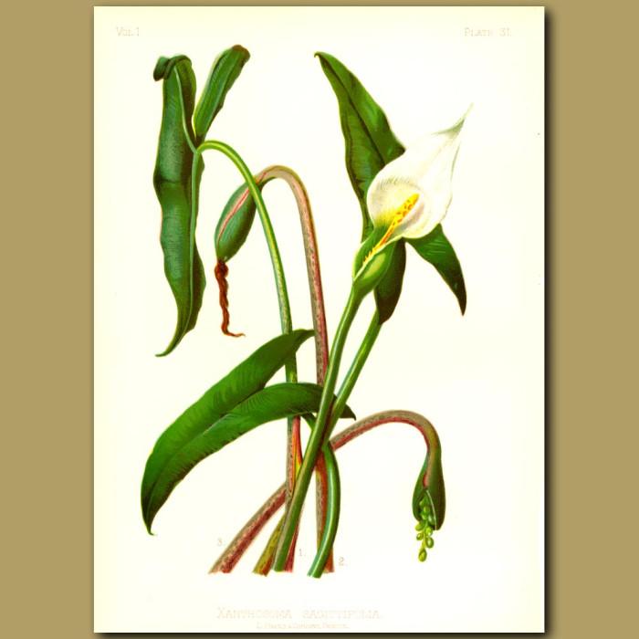 Antique print. Arrow-leaved Spoonflower