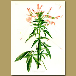 Prickly Cleome or Spider Flower