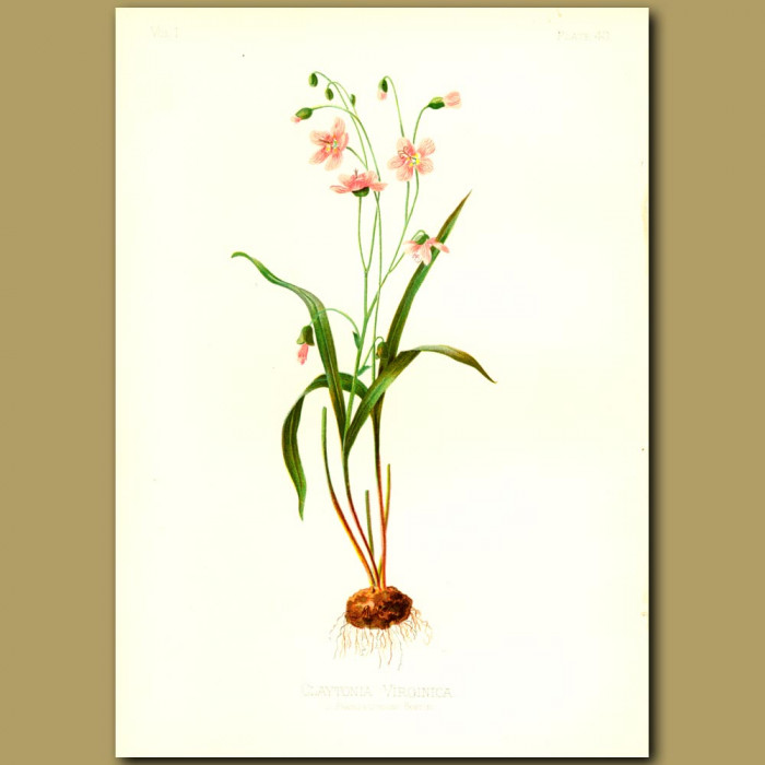 Antique print. Spring Beauty or Notch-petalled Claytonia