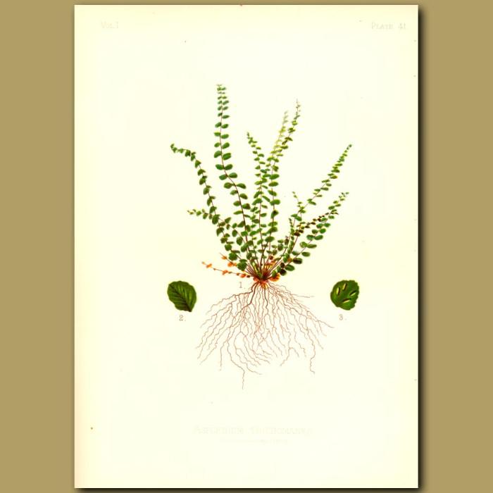 Antique print. English Maidenhair Fern
