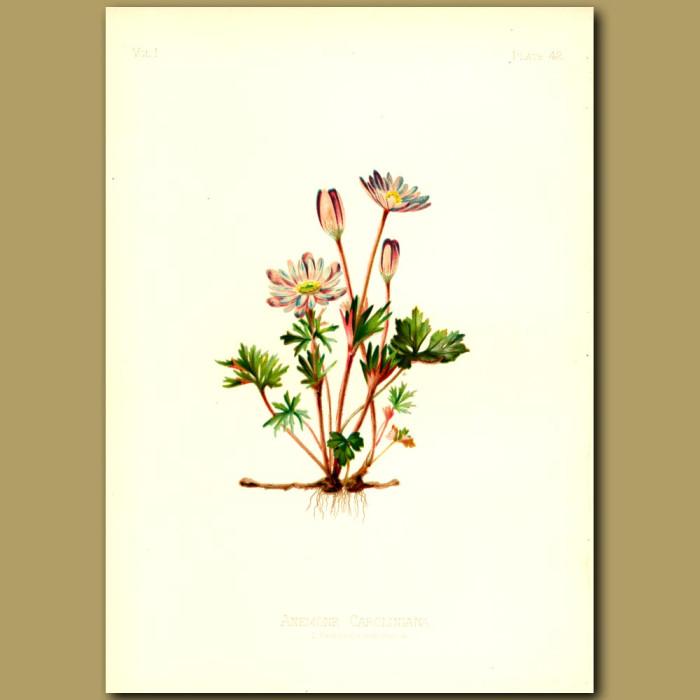 Antique print. Caroline Anemone