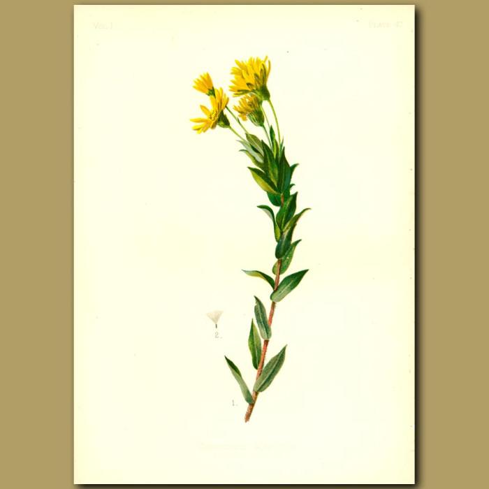 Antique print. Maryland Golden Star