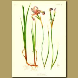 Boston Iris
