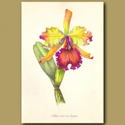 Dow's Cattleya Orchid
