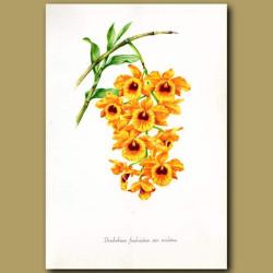 Fringe-lipped Orchid