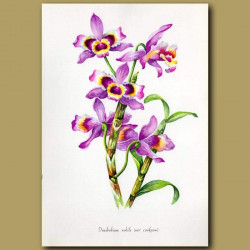 The Noble Dendrobium Orchid