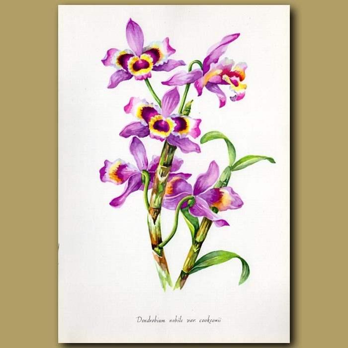 Antique print. The Noble Dendrobium Orchid