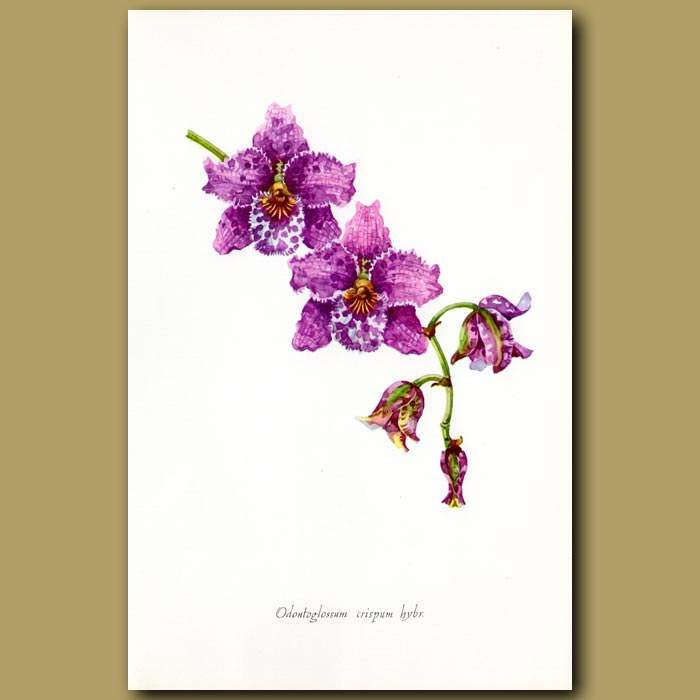 Antique print. Curled Ondontoglossum Orchid