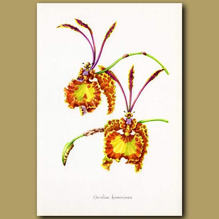 Antique print. Butterfly Orchid