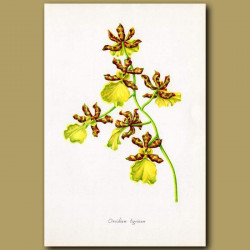 Tiger Orchid