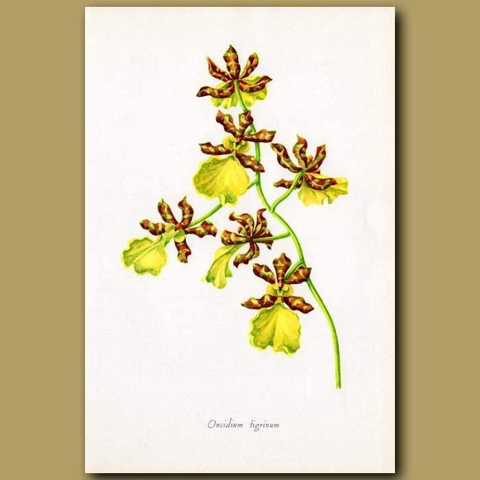 Antique print. Tiger Orchid