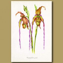 Wizard Orchid