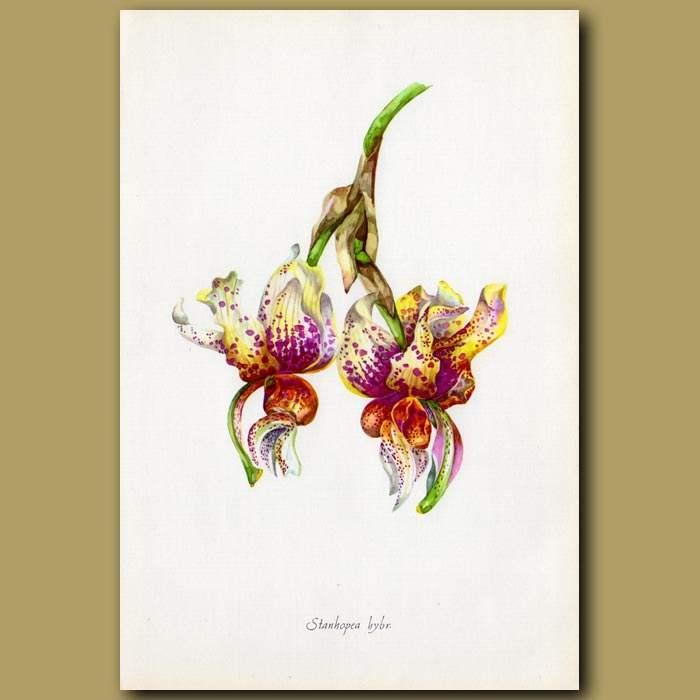 Antique print. Dark Star Orchid
