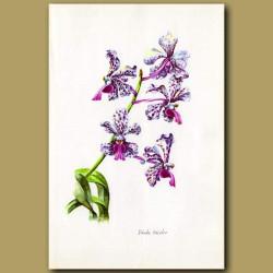 Three-coloured Vanda Orchid
