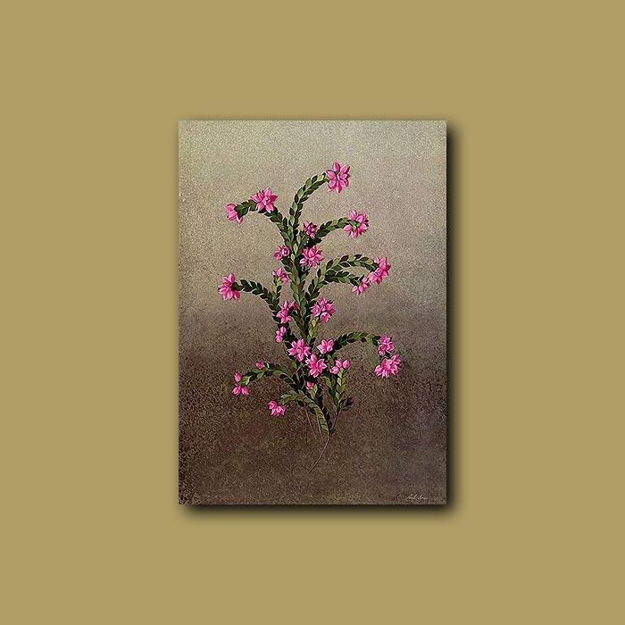Antique print. Saw-leaved Boronia